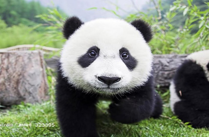 What does the Giant Panda Say?